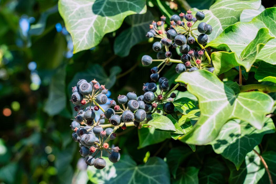 giftige pflanzen fuer kinder im garten efeu