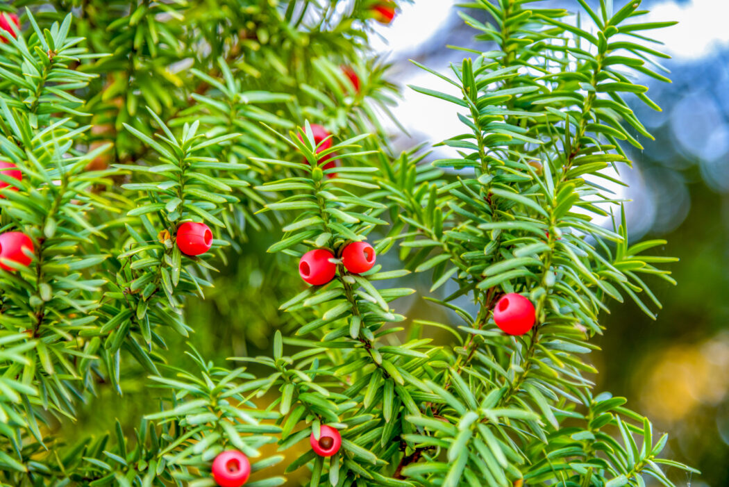 giftige pflanze fuer kinder im garten eibe