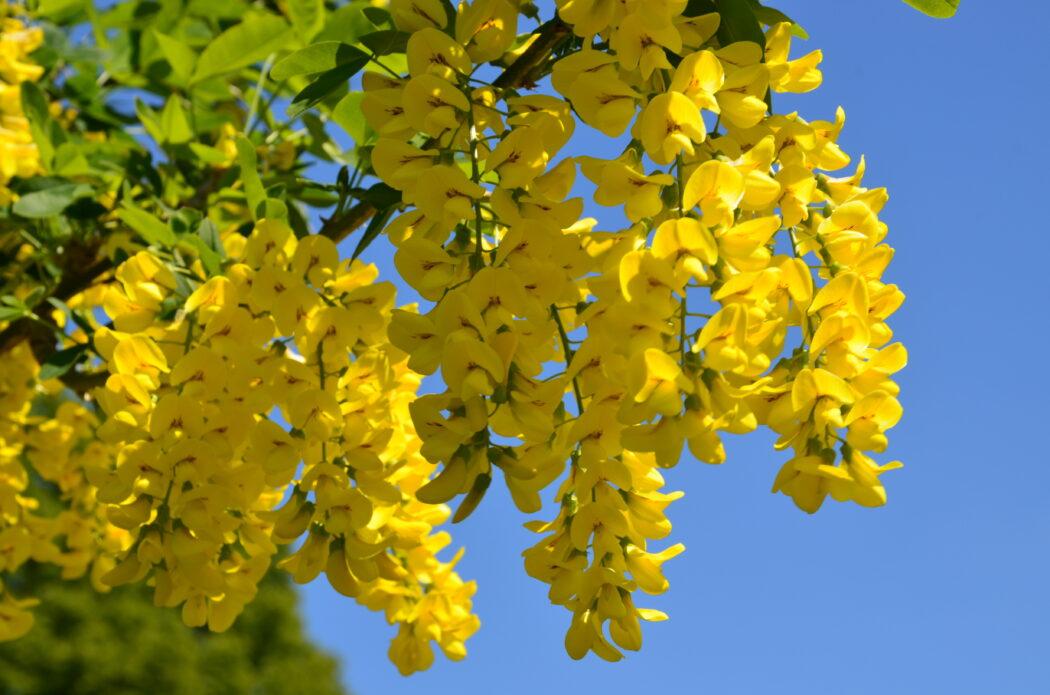 Goldregen Pflanze Blume giftig