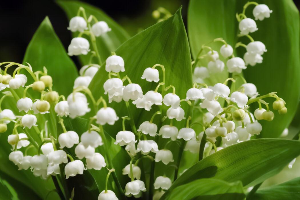 giftige pflanzen fuer kinder im garten maigloeckchen