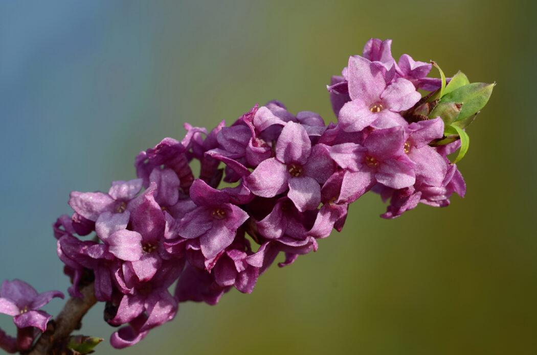 giftige pflanzen fuer kinder im garten seidelbast