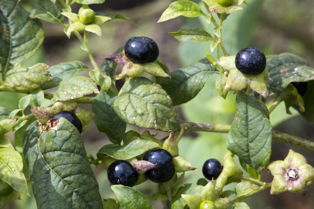 tollkirsche wald pflanze beeren giftig
